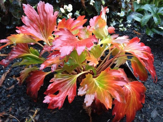 Plants of the Galicic Garden: Mukdenia rossii 'Crimson fans'
