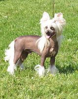 Chinese Crested dog playing in park
