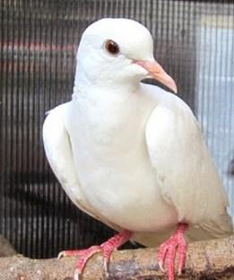 4 Ciri Perbedaan Paling Akurat Burung Perkutut Putih Yang Asli