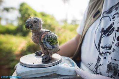 Filhote de papagaio-verdadeiro, Amazona aestiva, papagaio verdadeiro, pássaros, aves do brasil, aves, natureza, extinção, tráfico de animais, animais selvagens, comprar papagaios, regularizar criação de papagaios, meio ambiente, birds, birds of Brazil, por que preservar as espécies