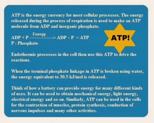 ATP | Chapter-6 Life  Processes | CBSE Class 10 Scienc