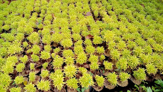 Jual Pohon Brokoli Kuning,Jual Tanaman Hias Brokoli Kuning Murah,Harga Tanaman Hias Brokoli Kuning