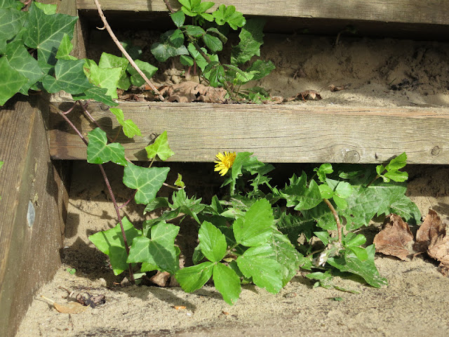 Wooden steps with sand, ivy, alexanders and yellow flower