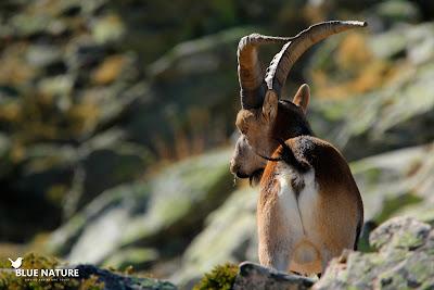 Macho de cabra montés (Capra pyrenaica) cerca de la cima de Peñalara.