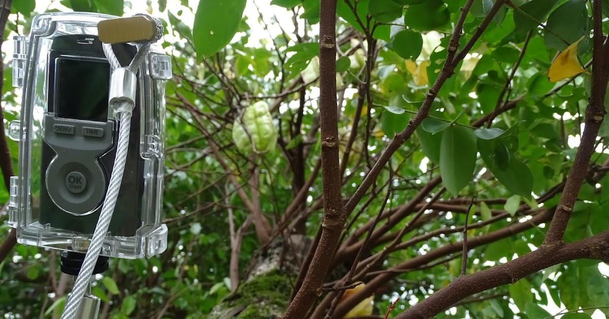 30秒看楊桃成熟落果過程與有鳳來儀之縮時攝影 (植物與生態 starfruit-TimeLapse)