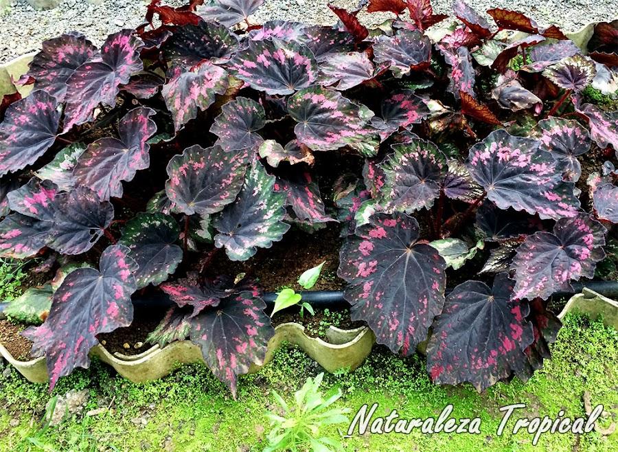 Planta ornamental del género Begonia