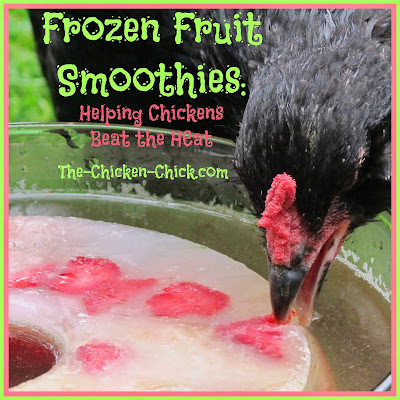 Whatever chicken keepers can do to keep chickens hydrated on hot days is encouraged. I make this frozen fruit smoothie ice ring for my chickens to help them beat the heat and they love it! When water is added to the ice ring, POW, Pullet Punch! Not only does the icy cold water encourage hydration, it gives chickens a natural sugar boost during energy-sapping weather when feed intake declines.