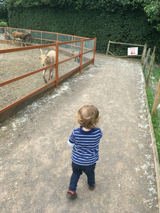 Walnut-tree-farm-park-A-Toddler-walking-past-goats