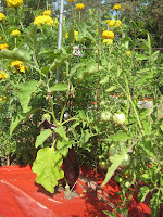 Grafted vegetable plant