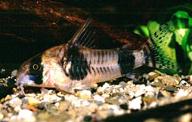 Jenis Ikan Corydoras tukano