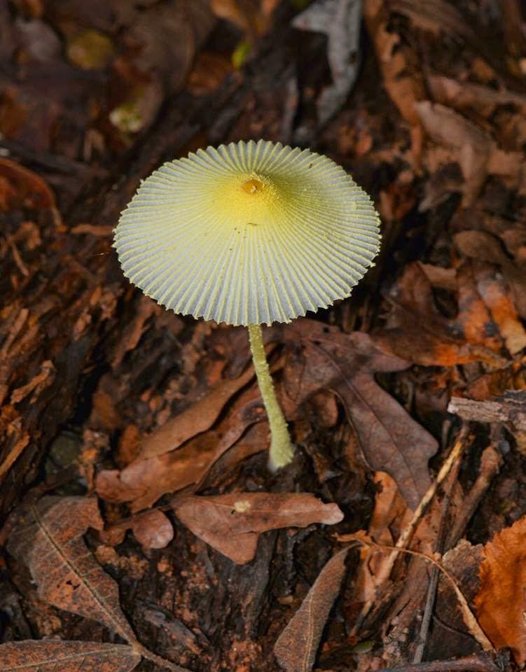 Wildlife Wanderings: Fungi, pigs, deer and sunshine |Parasol Mushroom