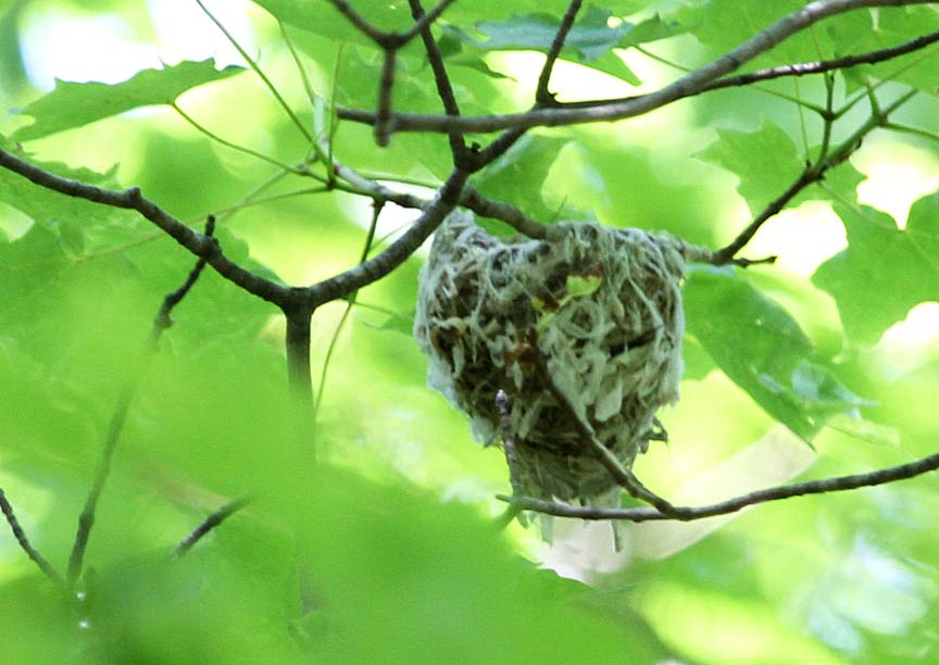 Red eyed vireo nest - photo#45