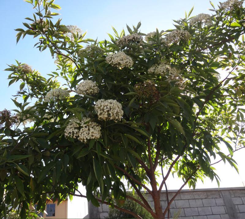 Árbol de Saúco floreando en primavera-verano