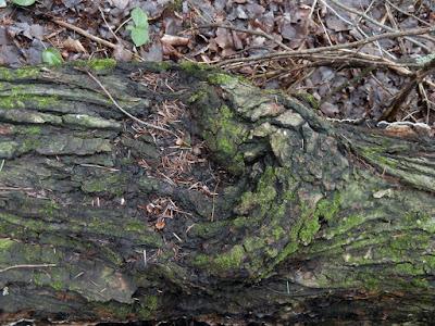 Inonotus glomeratus canker conk on maple