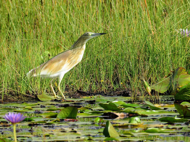 Common Squacco Heron on Mabamba Swamp in Uganda