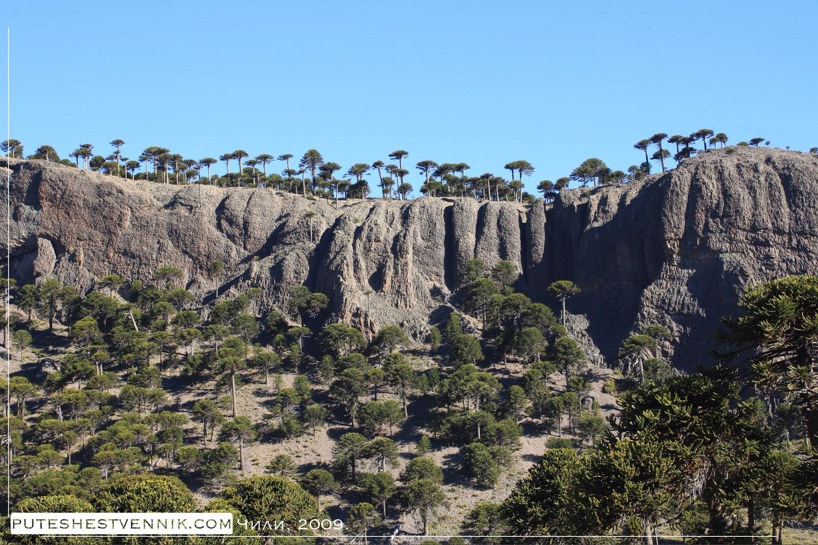 Араукарии и скалы в Чили