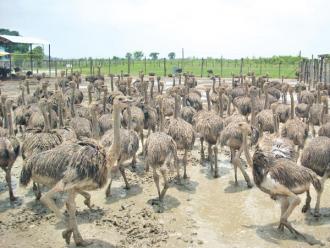 First Ostrich Farm in Nepal | Lexlimbu
