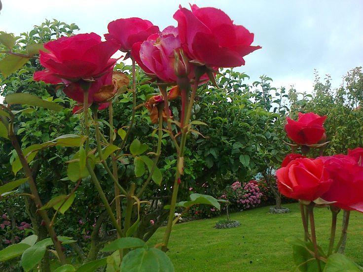 Imagenes ethel imagenes de rosas claveles crisantemos y - Jardines con rosas ...