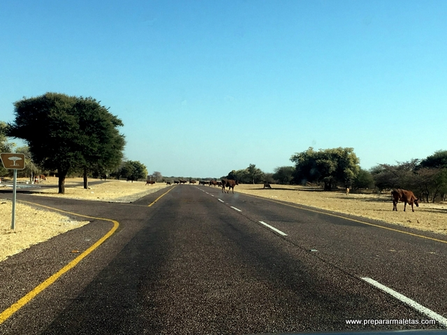 vacas en la carretera Botsuana