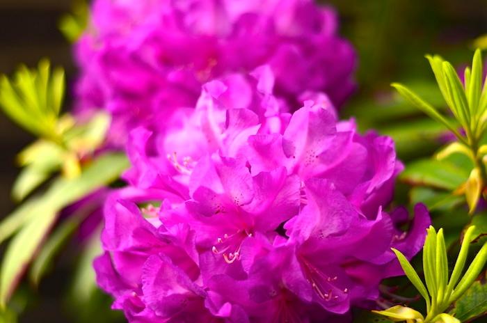 Pretty purple hydragena