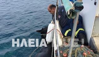 Ηλεία: Η διάσωση της Χάιδως - Φοράδα κολύμπησε, σώθηκε και βρέθηκε 15 μέρες μετά!