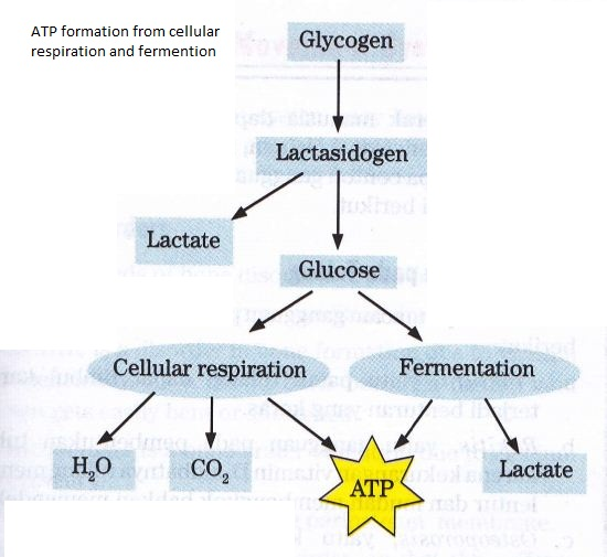 glucose and cellular respiration Cellular respiration is the set of the metabolic reactions and processes that take  place in the  this is a balanced equation of the cellular respiration of glucose.