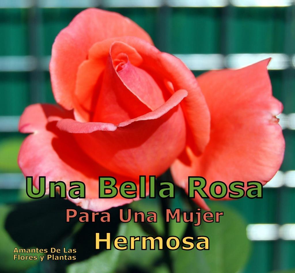 Flores Y Plantas Una Bella Rosa Para Una Mujer Hermosa
