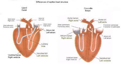 Sistem Peredaran Darah atau Transportasi Pada Hewan Vertebrata Seperti Ikan, Katak (Amfibi), Reptil dan Aves