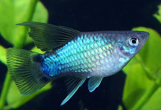 Gambar Jenis Jenis Ikan Platy