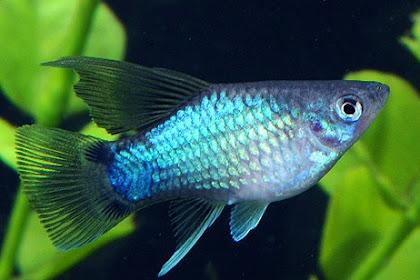 Jenis Jenis Ikan Platy Terlengkap Wajib Kamu Tahu