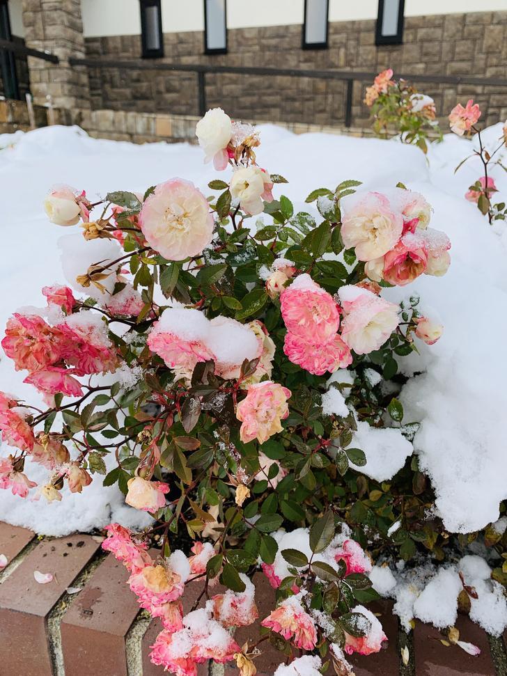 冰凍的薔薇
