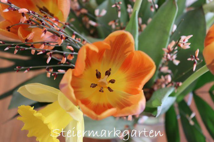 Tulpe-Frühlingsstrauß-Steiermarkgarten