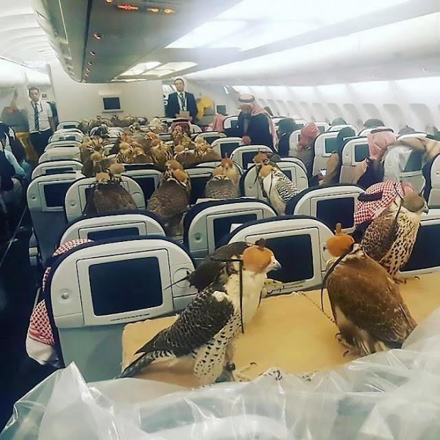 80 halcones vuelan... en avión y con boleto pagado