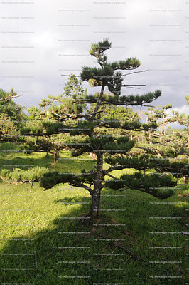 pinheiro negro no sitio matsu nagao