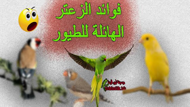فوائد الزعتر للطيور الحسون البادجي الحمام ستهبرك حتما