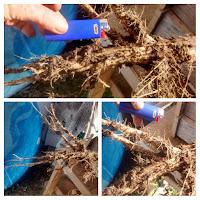 http://blog.mohempenergy.org/2016/11/tap-root-of-kenaf-plant.html