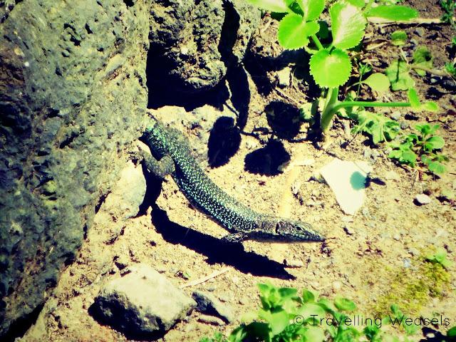 azores lizards