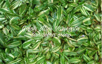 Rumput Gajah Mini Variegata