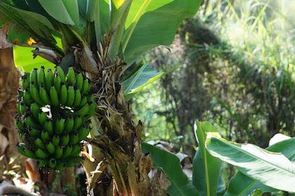 Cara Merawat Flora Pisang  Supaya Berbuah Lebat
