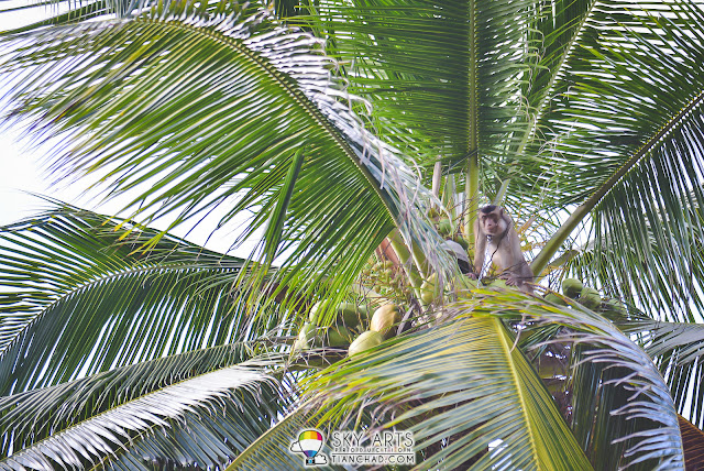 Monkey plucking fresh coconuts off the trees in Tanjong Jara Resort
