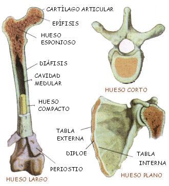 Huesos+1