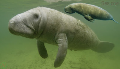 Sea cow sea animal