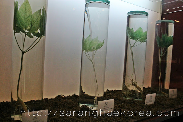 The real wild ginseng preserved at the museum