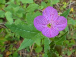 Oenothera rosea - Onagre rosée