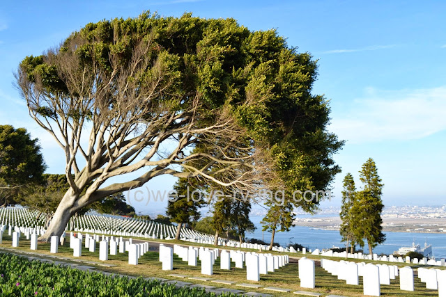 A windblown tree stands guard over the cemetery overlooking the San Diego Bay