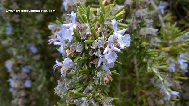 Romero rastrero (Rosmarinus officinalis var. prostratus)