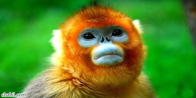 القرد-افطس-الأنف