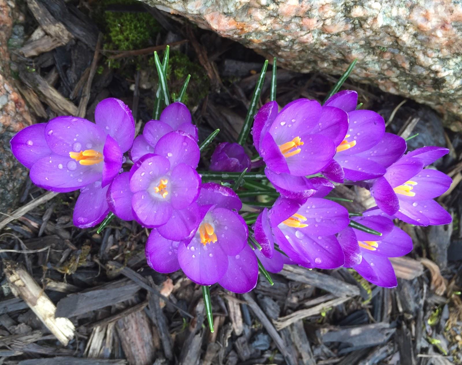 Garden Bloggers Bloom Day March 2016 Backyard Neophyte