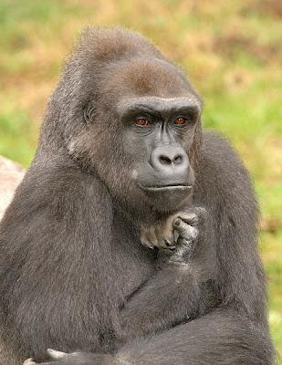 imagen de gorila pensativo - fotos