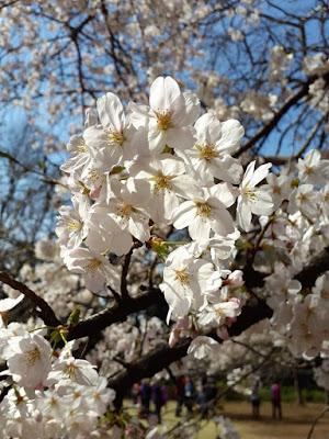 White sakura flowers at Shinjuku Gyoen Tokyo Japan